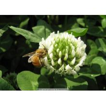 White clover seeds for garden borders