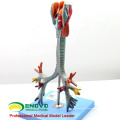 LUNG05(12502) 2 parts Life Size Larynx ,Trachea & Bronchial Tree Anatomy Models > Respiratory