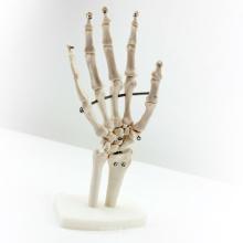 JOINT03 (12349) Medizinische Anatomie Wissenschaft Lebensgroße Handgelenk Menschliche Anatomische Modelle, Bildungsmodelle
