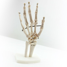 JOINT03 (12349) Anatomie médicale Science articulations manuelles grandeur nature Modèles anatomiques humains, modèles d'éducation