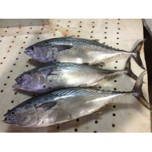 W/R Super Frozen Black Skipjack Fish