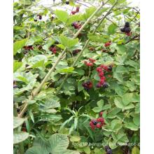 Zl-1046 Anic Blackberry Zl-1046 12