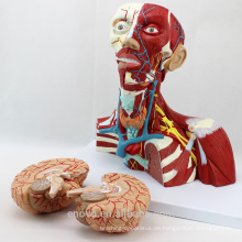 MUSCLE16 (12310) Medizinische Anatomie der Kopf- und Halsmuskulatur Modell 12310