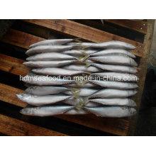 Gefrorene Makrele für Thunfisch-Köder (Scomber japonicus)