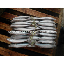 Frozen Mackerel for Tuna Bait (Scomber japonicus)