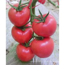 HT18 Xinpin rose f1 graines de tomates hybrides à vendre