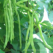 HBE07 Kaifa vert OP graines de haricots dans les graines de légumes à vendre