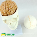 SKULL01-1 (12327) Medical Science Anatomy Cranial Nerve Plastic Skull Model
