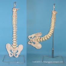 Человеческий гибкий позвонок с медицинской карликовой карликовой моделью (R020717)