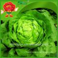 Lettuce hydroponic lettuce fresh iceberg lettuce