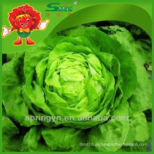 Salat hydroponischer Salat frischer Eisbergsalat