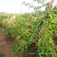 Chinese High Life Black Goji Berry Seedlings