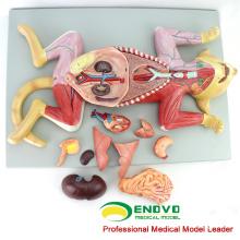 A29 (12010) Modelo Anatômico Animal de Educação Médica de Plástico do Gato 12010