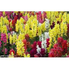 Vanliga Snapdragon Flower Seeds