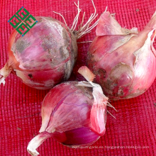 tipos de bulbo cebolla blanca fresca