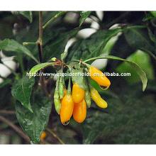 Seedlings jaunes de Wolfberry avec le système fort de racine de porcelaine