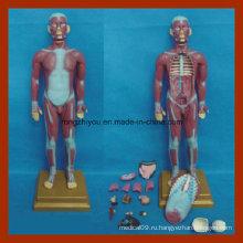 85cm Человеческий мышечный торс с моделью анатомии внутренних органов (17 шт)