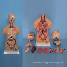 Амфотерная модель анатомии брюшной боли человека для медицинской демонстрации