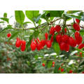 Wolfberry chinês, frutos secos, bagas de Goji, fitoterapia chinesa