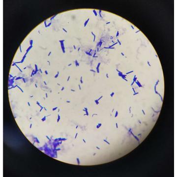 Freeze-dried Probiotic OEM Lactobacillus Bulgaricus