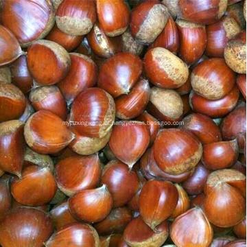 Preço de atacado castanha fresca com boa qualidade