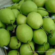 Grüne Farbe der neuen Ernte Shandong Birne