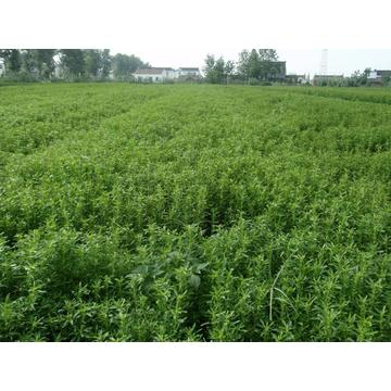 China for Natural Extracts Stevia export to Niger Manufacturer