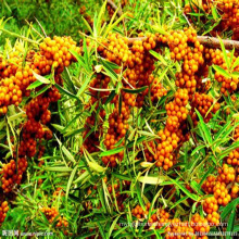 Factory Direct Selling Price Dried Fruit Of Chinese Yellow Wolfberry For Sale
