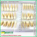 Продам комплект 12578 модели стоматологических изучение человека отдельных постоянных зубов
