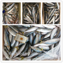 high quality new catched sea frozen mackerel