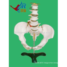 HR-115 Basic Lumbar with Pelvic Skeleton,Teaching Female Pelvis Model