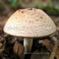 высокое качество сушеные органических шампиньонов Murill гриб