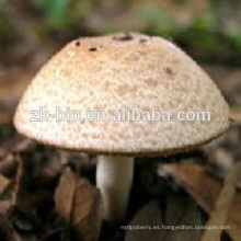 Agaricus orgánico secado de alta calidad Blazei Murill Mushroom