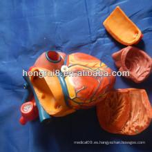 Modelo de la anatomía del corazón del nuevo estilo del ISO, corazón humano