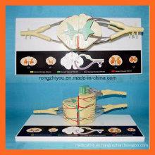 30 Time Enlarge Modelos del Sistema Nervioso de la Médula Espinal