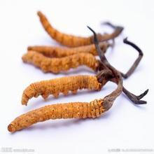 100% Natural Cordyceps Sinensis Extract