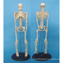 Human Body Skeleton Medical Anatomy Model 120cm