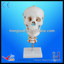Medical Education natural Skull with Cervical Spine Model