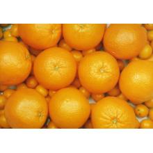 Exporter de nouvelles cultures Fraises Bonne qualité Orange