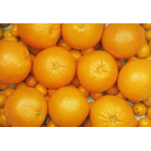 Export New Crop Fresh Good Quality Orange