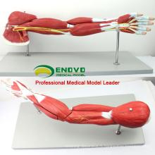 MUSCLE03 (12025) Muscles humains des bras avec vaisseaux principaux et nerfs (modèle anatomique) 12025