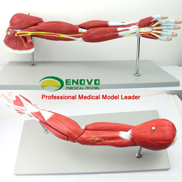 MUSCLE03(12025) Human Muscles of Arm with Main Vessels and Nerves(Anatomical Model) 12025