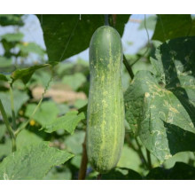 HCU04 Zhekuan 25cm de longitud, semillas de pepino chino F1 híbrido en semillas de hortalizas