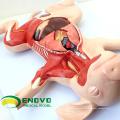 A02 (12002) Les modèles anatomiques démontables d'organes de porc de porcelet pour l'étude de vétérinaire 12002
