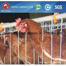 Silver Star Factory Outlet Price Jaulas de pollos de gallinas de granja de aves de corral