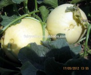 Hybrid white melon seed fruit seeds for cultivation-TG040