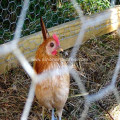 Poultry Netting Mesh Fence
