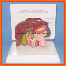 Human Liver, Spleen, Pancreas and Duodenum Model with Plastic Base