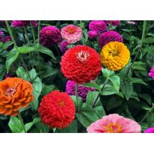 factory low price Used for China Flower Seeds,Potmarigold Calendula,Sweet William Manufacturer Flower seed germination table supply to Venezuela Manufacturers