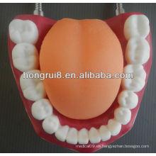Nuevo modelo de cuidado médico dental estilo, modelo de dientes humanos